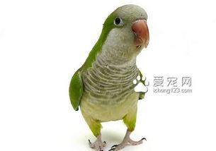 和尚鹦鹉怎么养 导致和尚鹦鹉的攻击行为有哪些