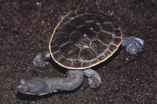 龟有几种-属于龟鳖目-蛇颈龟科-长颈龟属的一种.又名蛇颈龟.分布于澳大利亚...