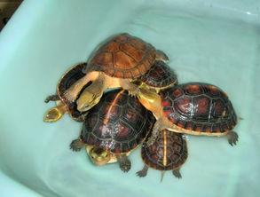 龟有几种-一般10公分以上,可以冬眠的龟才能让其冬眠,难度饲养高的龟种对水...