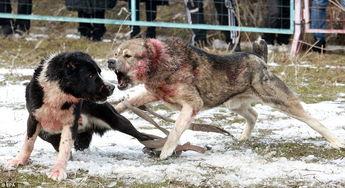 人和狗做爱真人-为了选出最适合交配的狗 这些人让狼狗互相撕咬