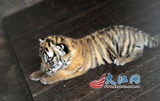 世界罕见 南昌动物园华南虎 英雄父母 2年生6只虎崽