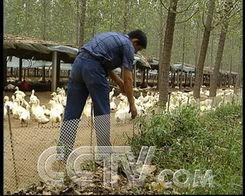 """:""""现在一天能屠宰八九千只,因为老百姓现在养鸭的积极性特别高,..."""
