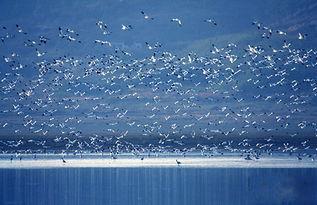 鄱阳湖候鸟