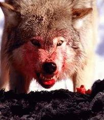 wolf狼-  同本义 [wolf]   狼,似犬,锐头,白颊,高前