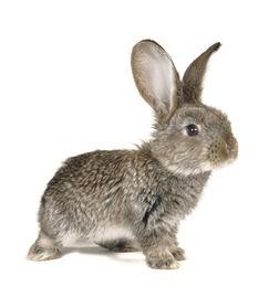 花小铎之飞龙宝藏-兔子图片 小白兔 小灰