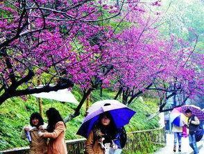 华盛顿樱花节旅游攻略