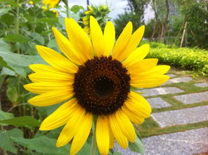 雨中的向阳花 灿烂如一枚骄阳