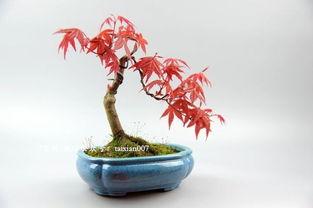 日本枫树微盆景美图