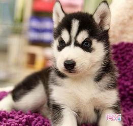 我的小狗狗哈士奇起什么名字 英文名 好呢