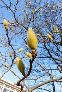 ...海植物园 玉兰小说区 校园春色花 性子急 开花期 刷纪录