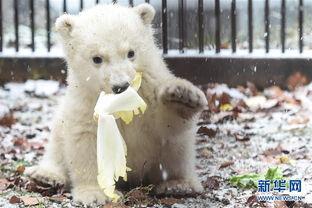 北极熊宝宝在法国东部米卢斯动物园卖萌