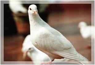 ...摄影作品 唯我独尊 骄傲的鸽子