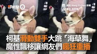 狂佣-8 细友Wang YiChen授槽 小新 萧全-海草舞 柯基滑勤孽手大跳「海草舞...