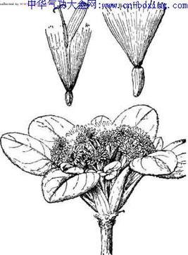 雨伞花-【来源】菊科   伞花绢毛菊   Soroseris umbrellata (Franch.) Stebb.,以 ...