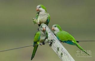 和尚鹦鹉繁殖方式介绍