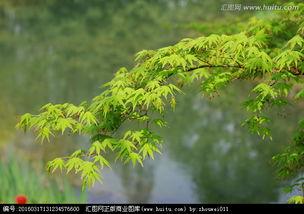 七枫花32部合集-枫树枫叶,枝叶,植物花草,摄影,汇图网