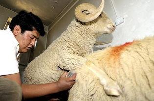 性交肉图-...上研究阿里绵羊配种改良技术,不仅培育出毛肉兼用的优质品种,同...