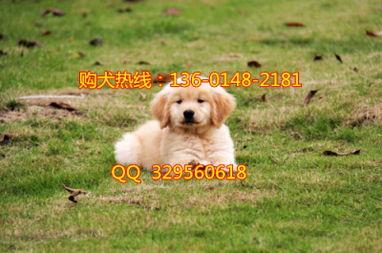 重庆哪里有卖金毛的 重庆金毛多少钱一只 重庆哪里有纯种金毛幼犬出售