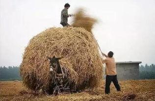 老根想丁香大喇叭曲是谁吹的--麦秸垛-   把麦秸拉回家,要堆出一个既稳定又漂亮的麦秸垛也是需要...