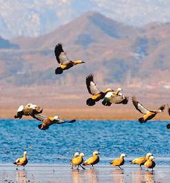 南飞的赤麻鸭在密云水库栖息