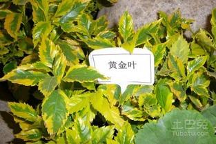 黄金叶产地在哪里 黄金叶的栽种价值介绍