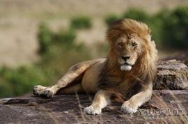 人与自然动物配种大全我亲爱的骆先生-...离实拍野生狮子交配过程