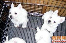 哈士奇犬照片 西伯利亚雪橇犬照片 未命名 275931809