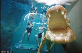 蛇女尿道口吞人本子-澳一公园推出与巨鳄水下亲密相处的项目(组图)