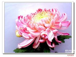 菊花的姿态描写