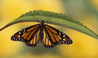 蝴蝶的翅膀为什么五彩斑斓
