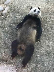 ...动物园一大熊猫口吐白沫 回应 属正常现象