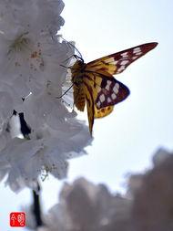 蝶间游龙-近日闲游桃花涧,喜见蝴蝶在花间飞舞,拿起相机拍了几张供大家欣赏...