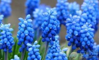 2月6日生日花语 蓝风信子