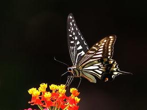 什么蝴蝶是黑色的-柑橘凤蝶 黑底