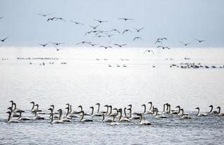 ...大批候鸟迁徙到我国第一大淡水湖江西鄱阳湖自然保护区越冬,鄱阳...