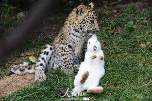 kigurumi神木林兔子-原标题:高清:   青岛   动物园幼年狮虎豹不敌大白兔纷纷被吓住   ...