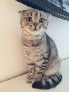 这是美短虎斑折耳猫吗