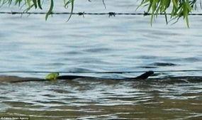 ...,一只青蛙跳在一条蛇的背部,顽强地渡过洪流-澳洲洪灾中青蛙跳上...