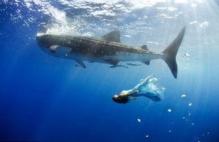 澳摄影师海底拍摄美女与鲨鱼等同游合照