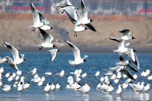 一年一度候鸟季 秦皇岛沿海湿地万鸟临海
