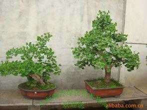 银杏树盆景图片