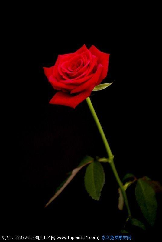 黑色背景中的一朵玫瑰花高清图片 花草树木 图片114