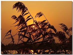 山野闲人摄影作品 夕阳芦苇