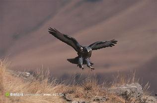 飞翔的老鹰与山高清图片