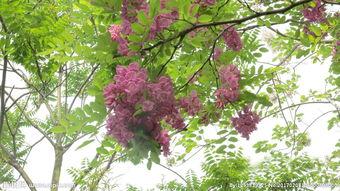 紫色槐树图片