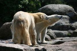 实拍北极熊求爱交配全过程 罕见动物性爱 组图
