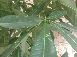 发财树叶子发黄的原因有哪些?该如何处理?