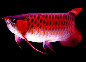 财神鱼-龙鱼在风水中的作用