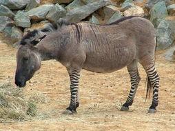 动物世界中的跨种群杂交