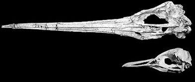 古代 巨人 企鹅化石惊现秘鲁